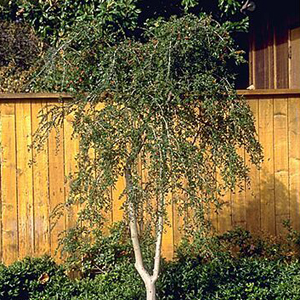 Weeping Yaupon Holly