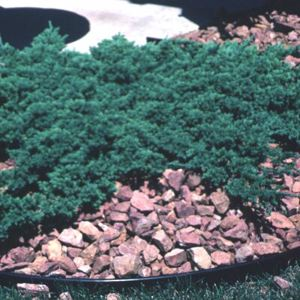 Greenmound Juniper