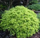 Eureka Gold Yaupon Holly